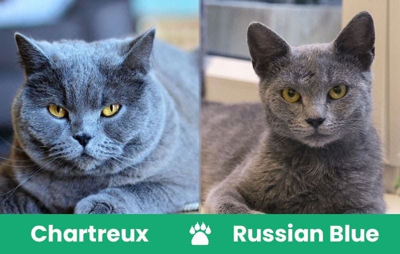 Chartreux-Cat-Vs-Russian-Blue-Cat1