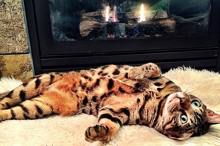 Cheetoh Cat lying
