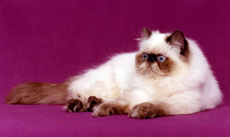 Chocolate point persian