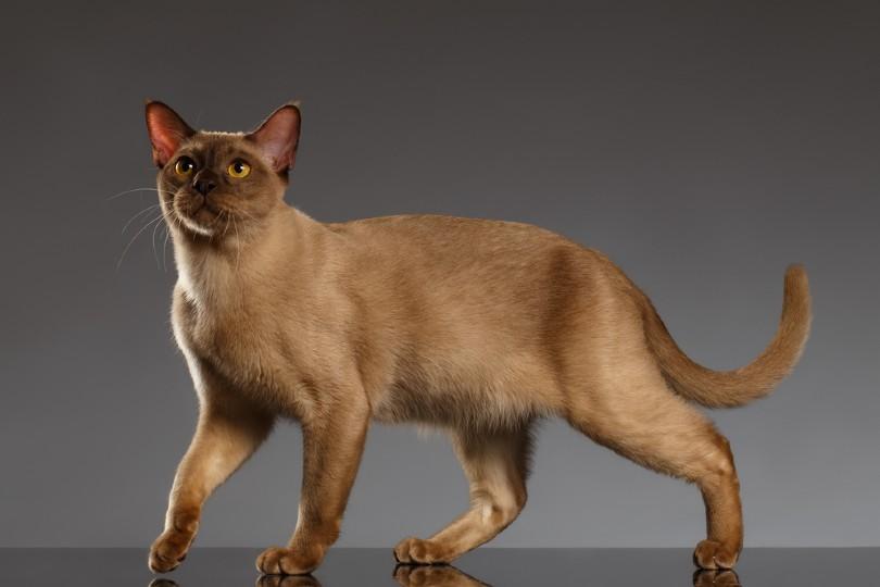 Closeup Burmese Cat Stands on Gray background