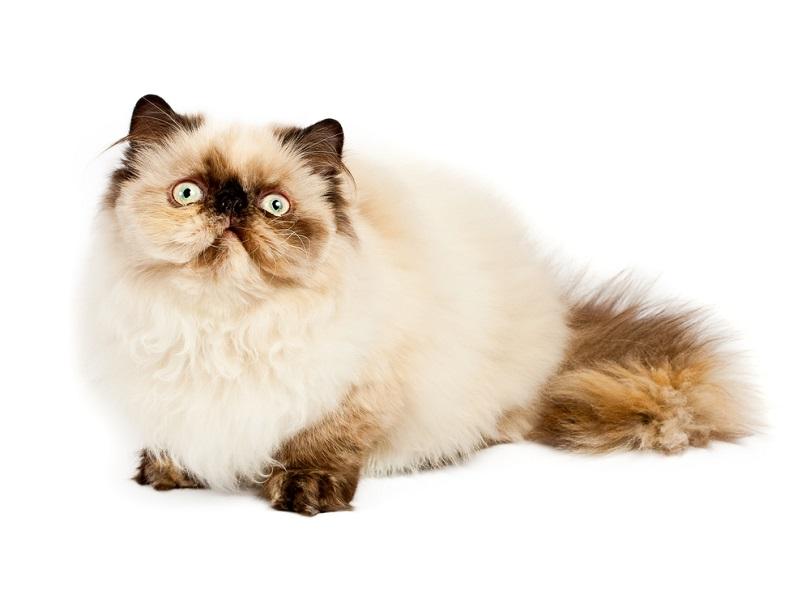 Cream Persia cat_Vladyslav Starozhilov_shutterstock