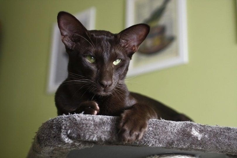 Domestic cat - oriental shorthair_Jolanta Jd_shutterstock