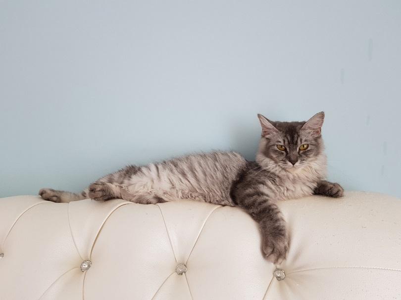 Domestic long hair cat on a sofa