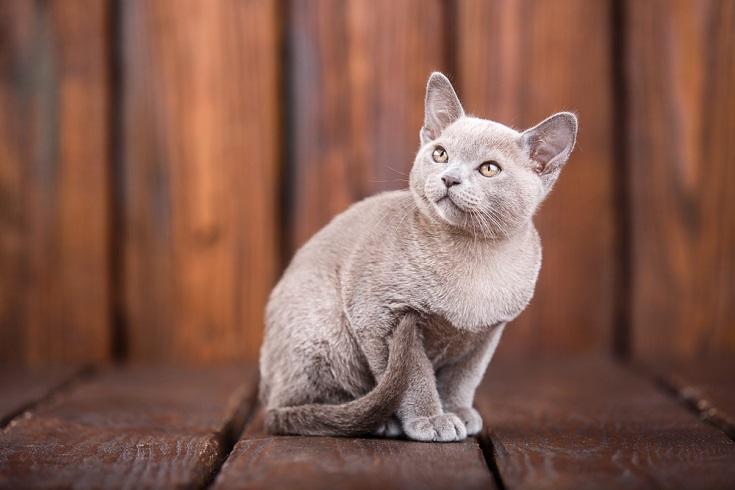 European Burmese cat
