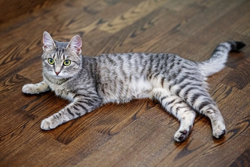 Gray striped cat _OlhaTsiplyar_shutterstock