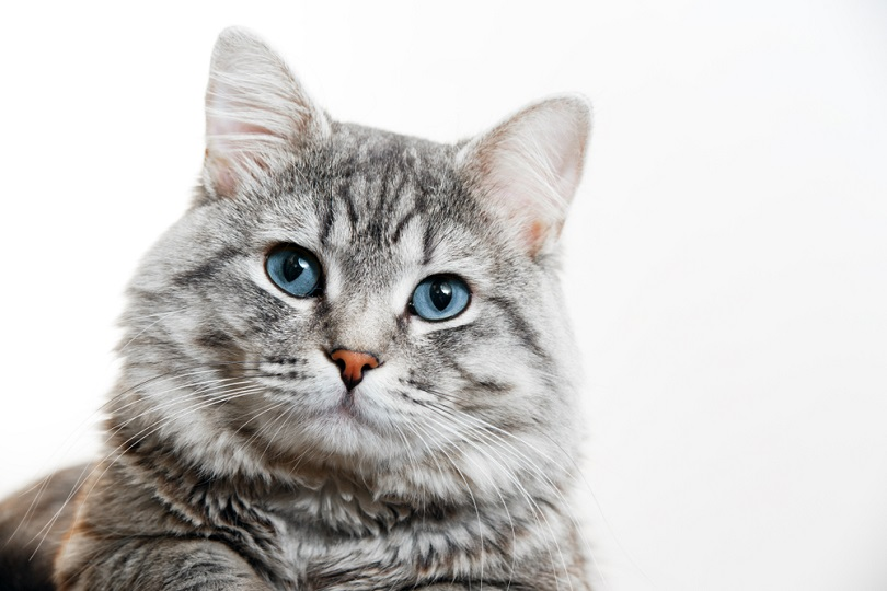 Gray tabby cute kitten with blue eyes_KDdesignphoto_shutterstock