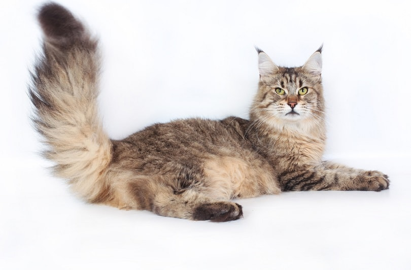 Maine Coon Cat on a white background