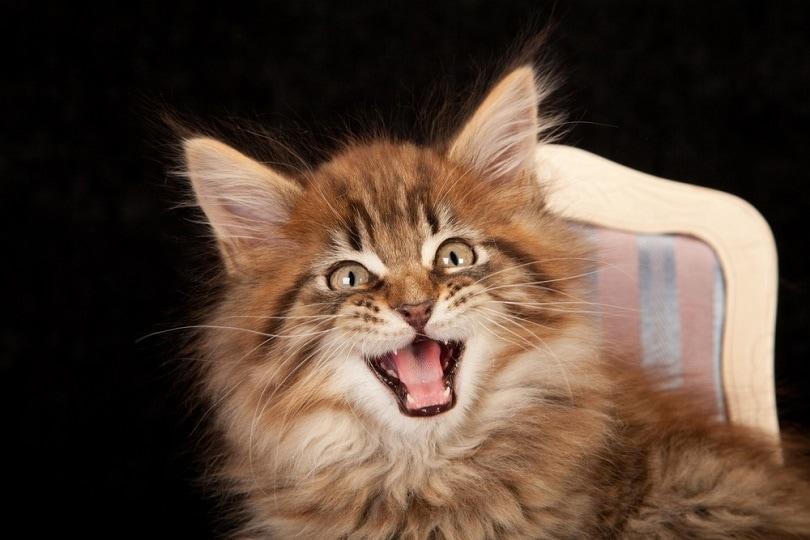 Maine Coon kitten chattering_Linn Currie_shutterstock