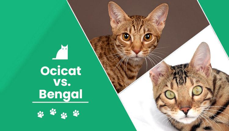 Ocicat vs Bengal