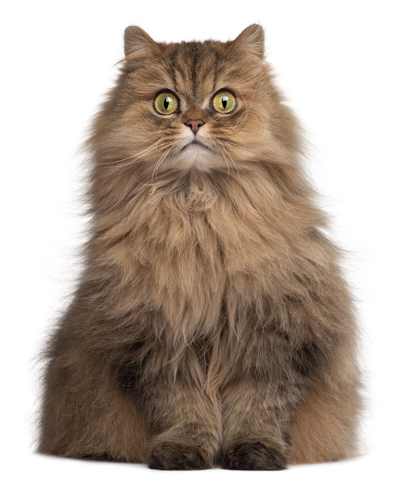 Persian cat 6 years old_Eric Isselee_shutterstock