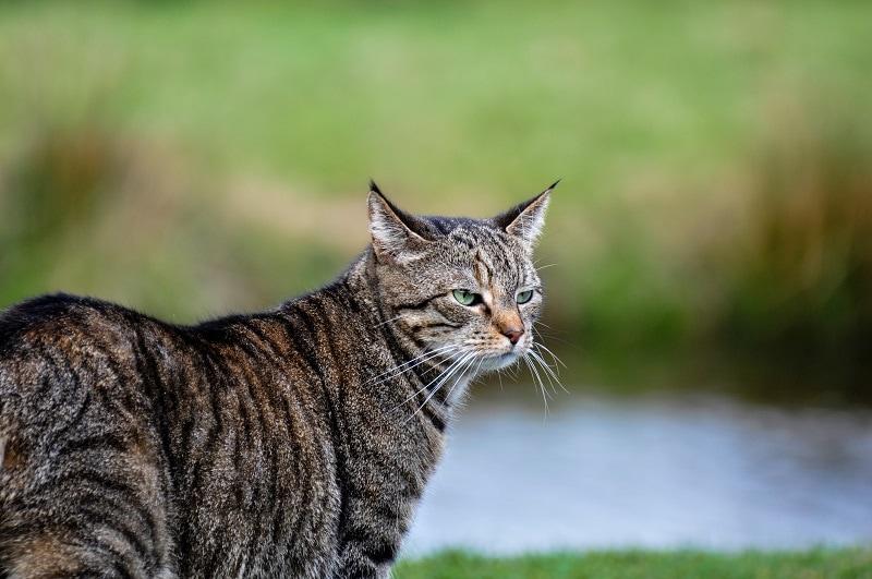 Pixi Bob Cat Outdoors
