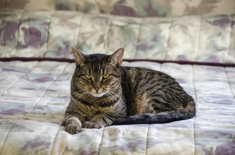 Pixie-bob cat on bed