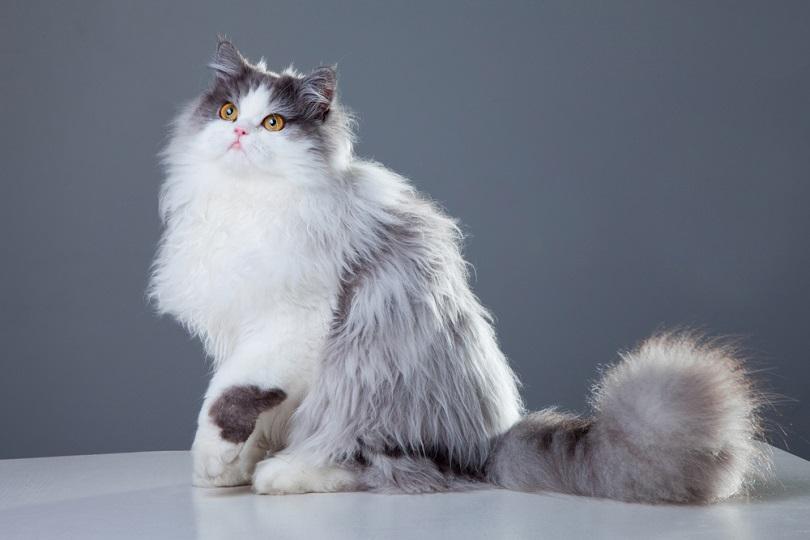 Portrait of a beautiful persian cat