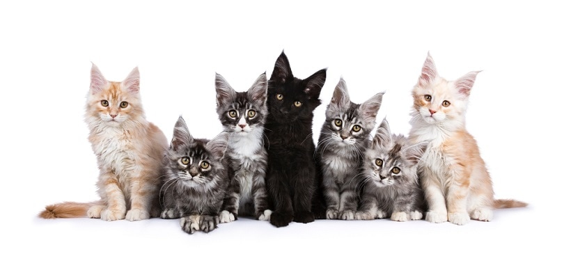 Row of seven Maine Coons