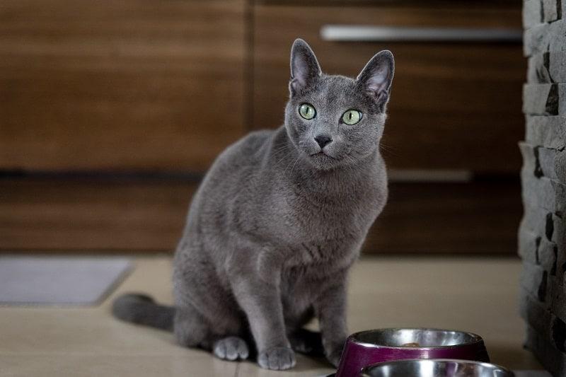 Russian Blue Cat Eating