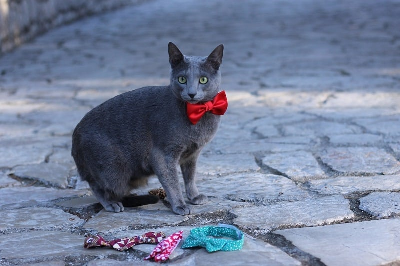 Russian Blue Cat with Red Tie