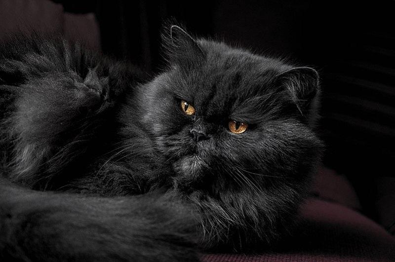 Solid black persian