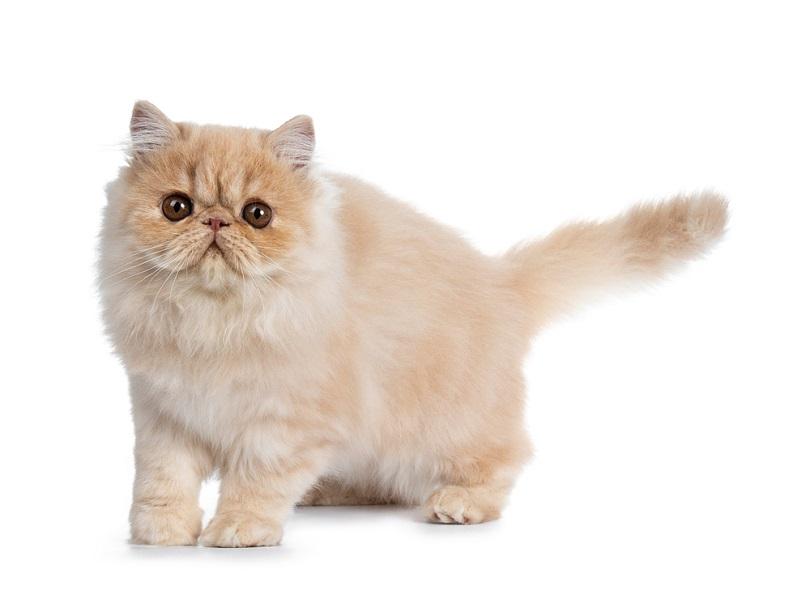 Asap krim manis kucing Persia kitten_Nynke van Holten_shutterstock