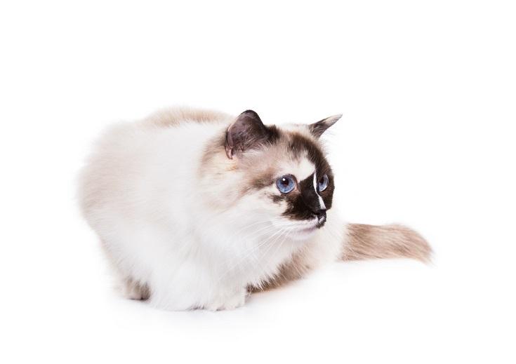 Tortie Ragdoll Cat