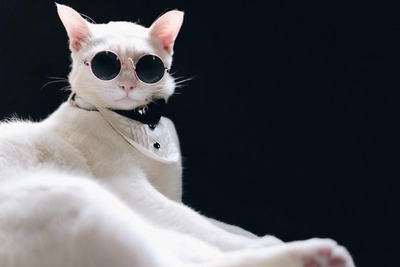Tuxedo White Cat wearing sunglasses_GrooveZ_shutterstock