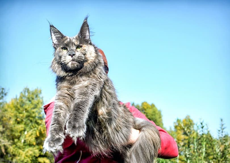 Very big blue maine coon cat in forest
