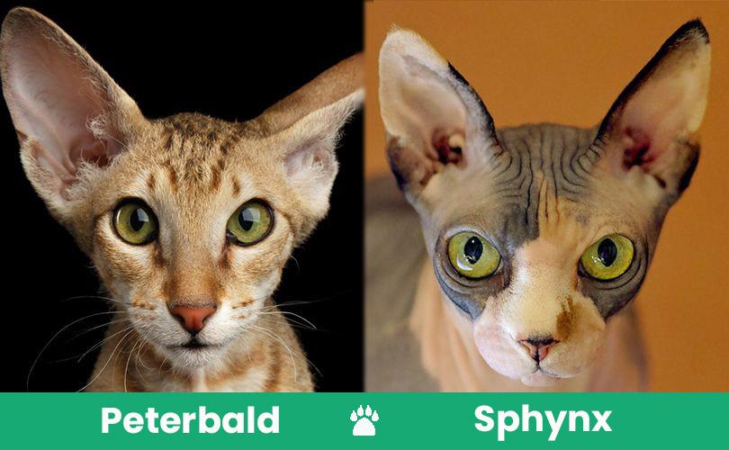 peterbal vs sphynx