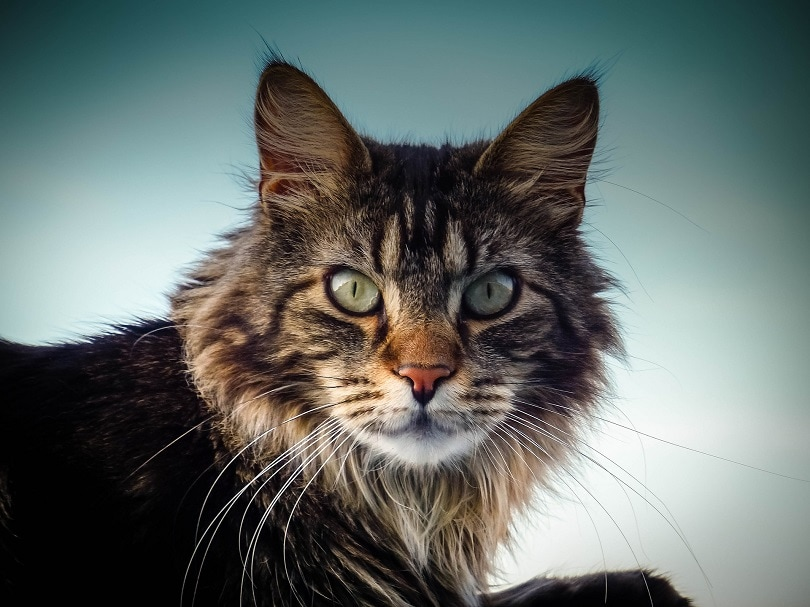 a close up of maine coon cat