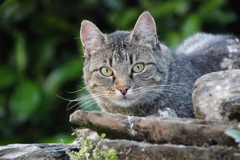 a domestic shorthair cat