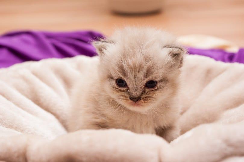 a persian kitten