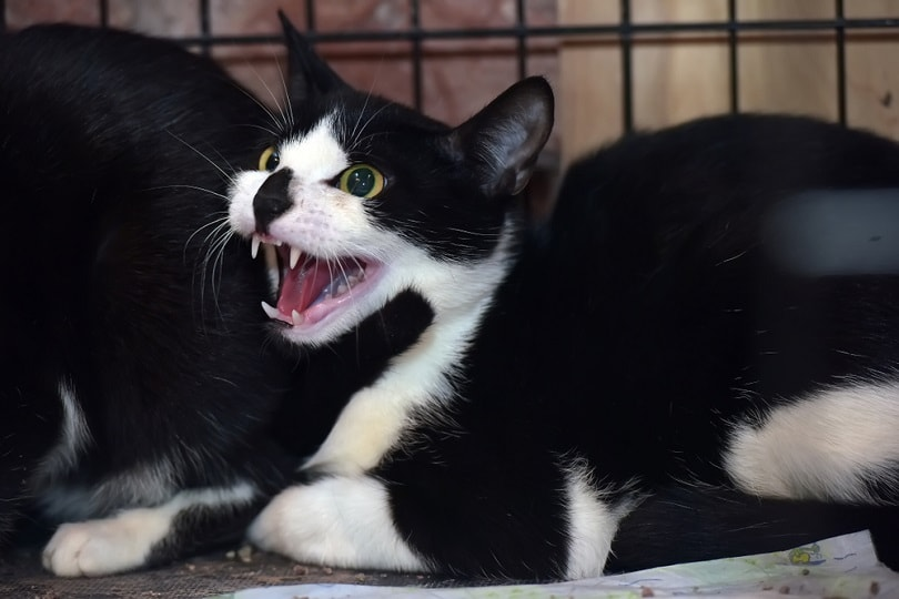 aggressive cat in a cage