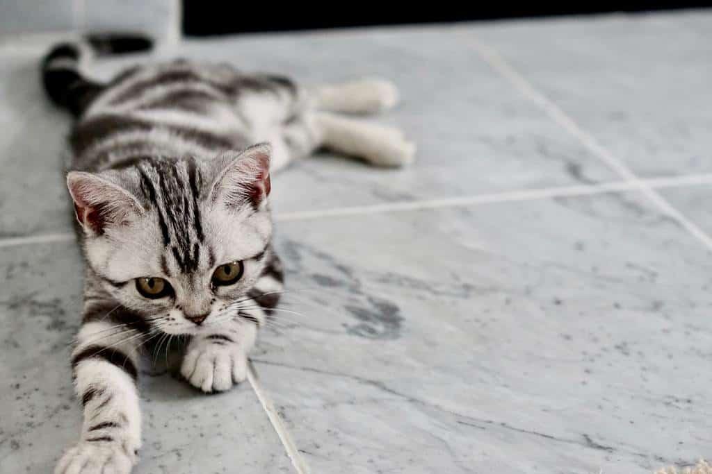 american shorthair kitten