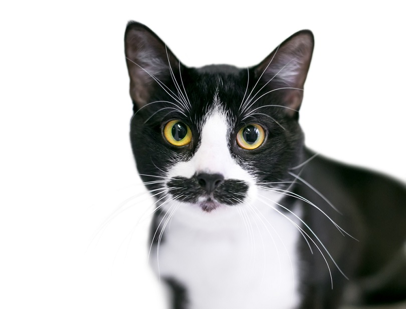 and white Tuxedo domestic shorthair mustache_Mary Swift_shutterstock