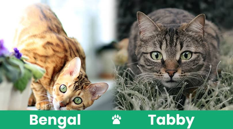 bengal vs tabby feature