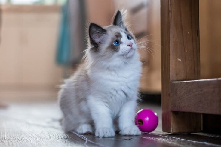 bicolor ragdoll kitten