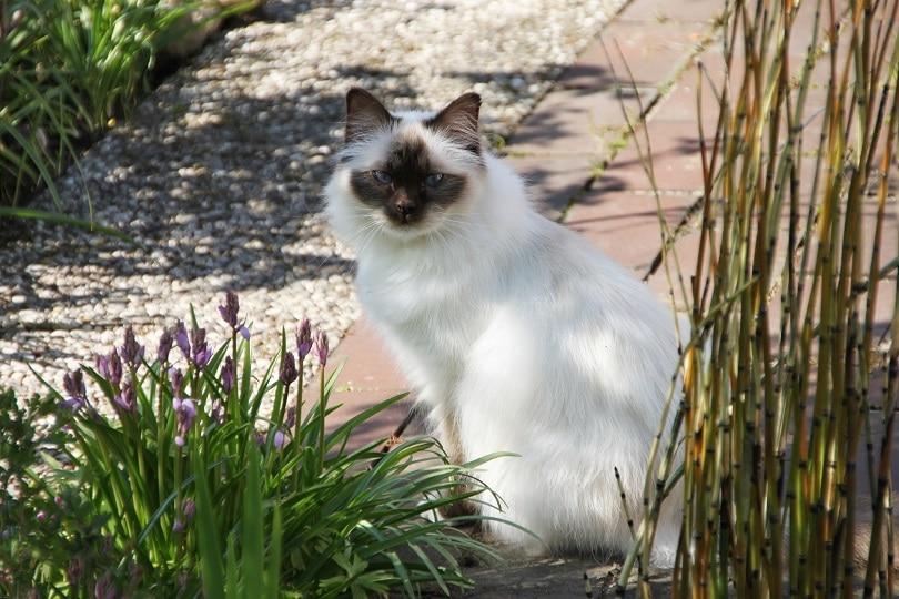birman cat sitting outdoor_Jeannette1980, Pixabay