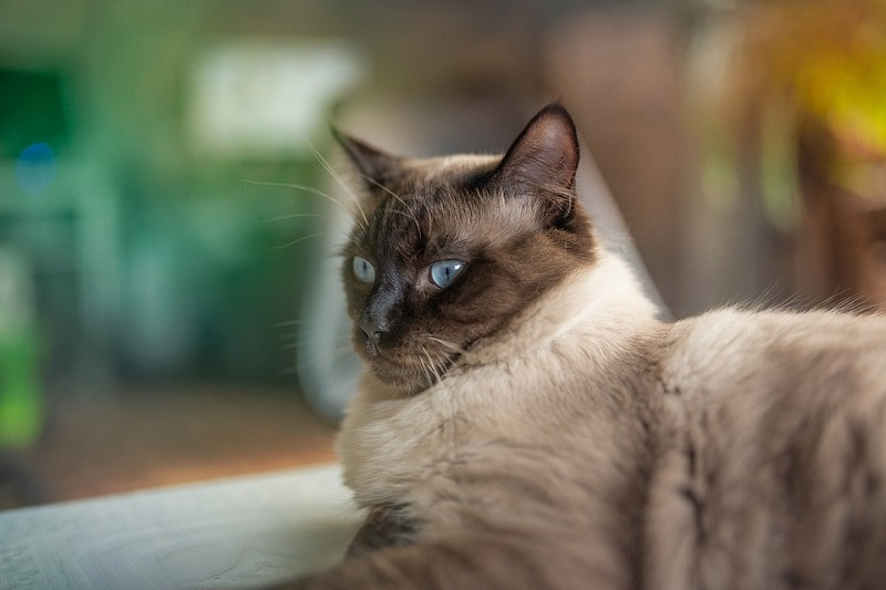 blue eyed ragdoll
