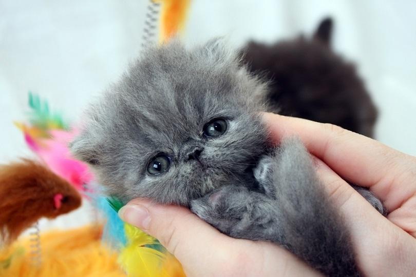 kucing persia biru_Igor Leonov_shutterstock