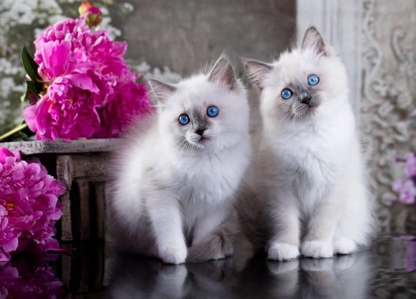 blue point ragdoll kittens_Liliya Kulianionak_Shutterstock