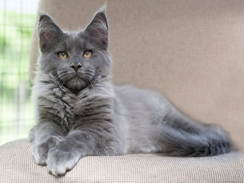 blue smoke maine coon cat lying on the couch