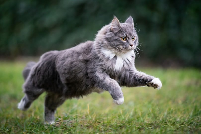 blue tabby maine coon cat_Nils Jacobi_shutterstock