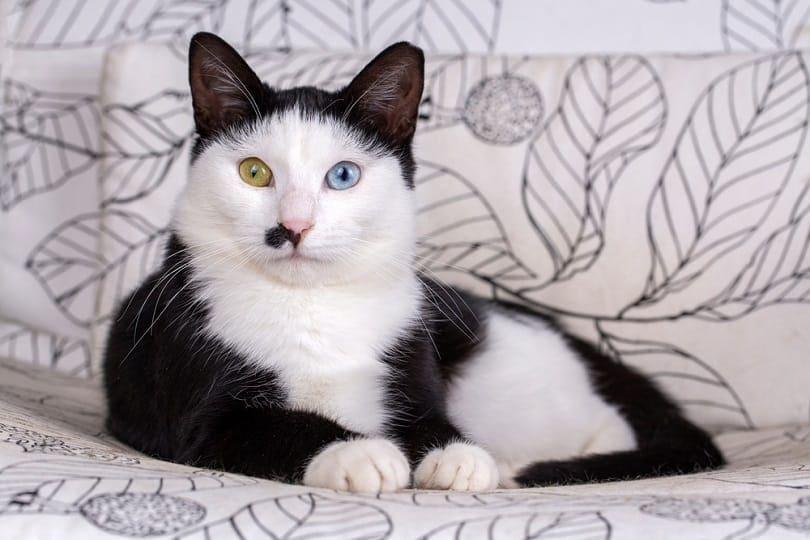 blue tuxedo cat_Esin Deniz_shutterstock