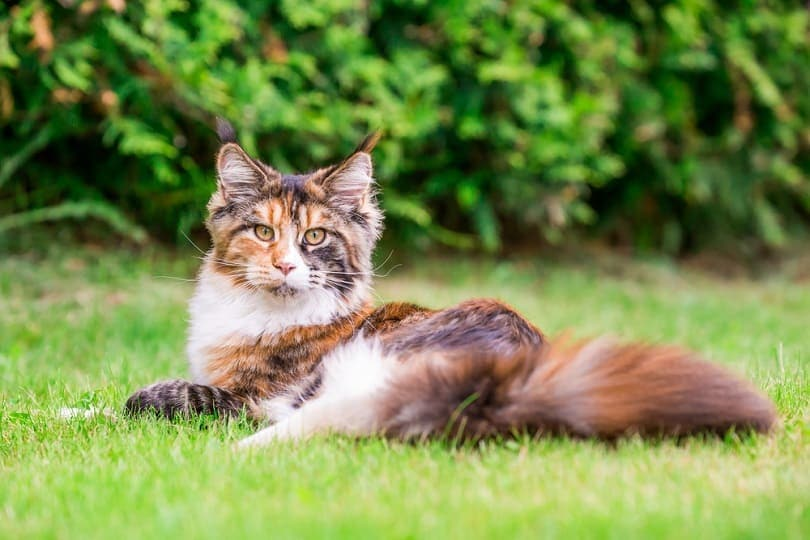 calico maine coon cat lying on the grass