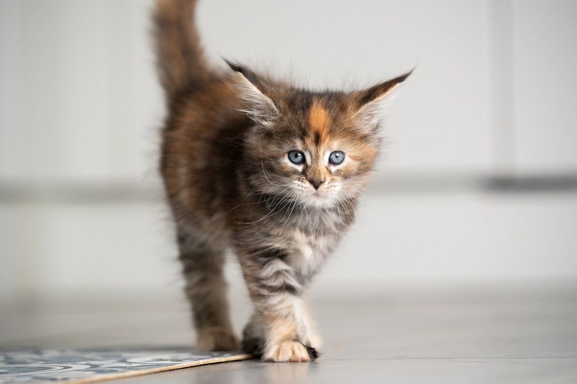 calico maine coon kitten walking