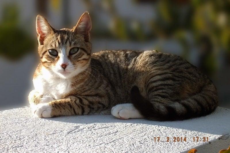 cat dragon li