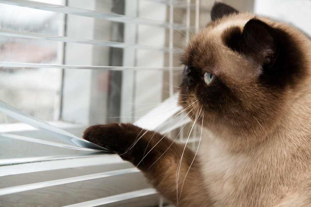 cat looking through blinds