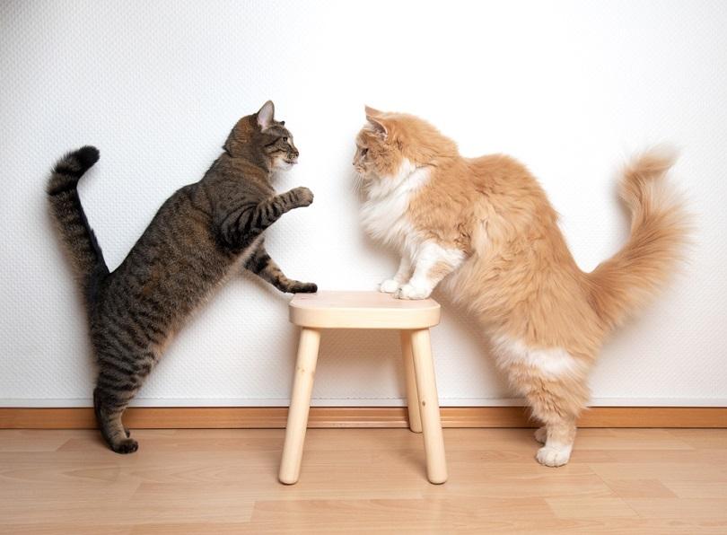 cats armwrestling fight battle_Nils Jacobi_shutterstock