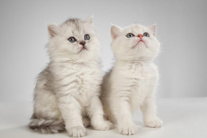 classic persian kittens