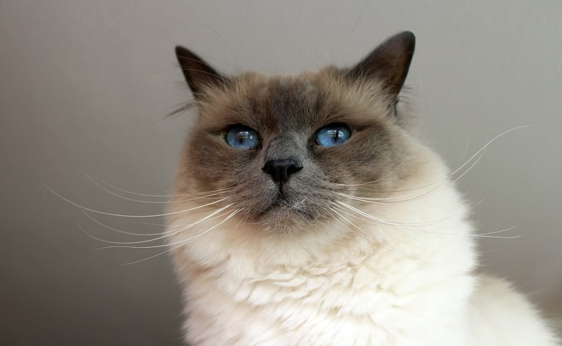 close up of birman cat