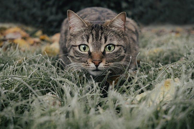 closeup of mackerel tabby cat outdoors