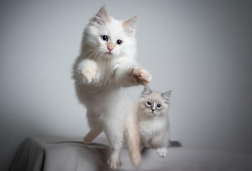 cream silver tabby point ragdoll kitten_Nils Jacobi_shutterstock
